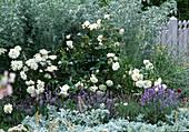 White-blue perennial border, Sedum album 'Coral
