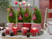 Small Chamaecyparis (false cypress) in red and white bags