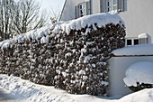 Snowy hedge from Carpinus betulus ( hornbeam)