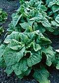 Lactuca asparagus (green salad garden lettuce)