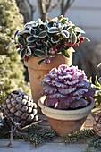 Gaultheria, Brassica, Pinus