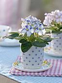 Saintpaulia (African Violet) in cup