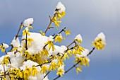 Forsythia blooms in the snow, (Forsythia spectabilis)