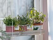 Herbs on the window, oregano (Origanum), savory (Satureja)