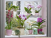 Orchid window with Cattleya trianae, Phalaenopsis 'Table Dance'