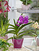 Orchid window with Vanda, Phalaenopsis and Cambria