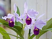 Cattleya trianae (orchid)