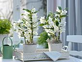 Dendrobium nobile decorated with Tillandsia herb