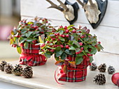 Gaultheria procumbens (pear berry) in a kilt