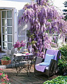 Wisteria sinensis on the wall, table and wicker chair