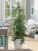 Ficus deltoidea 'Jack' (Misty Fig) in white basket planter