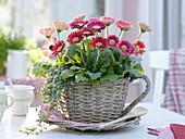 Gerbera and Pilea (Cannon flower) planted in wicker basket