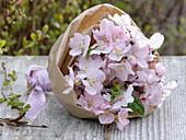 Flowering branches of Prunus dulcis (almond)