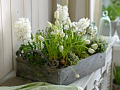 Hyacinthus, Muscari 'White Magic'