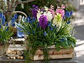 Hyacinthus (hyacinths), Muscari 'Big Smile' (grape hyacinths)