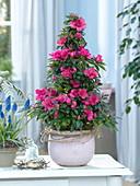 Rhododendron simsii (room azalea), Muscari 'Big Smile'