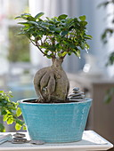 Ficus microcarpa 'ginseng' (rubber tree) as bonsai