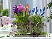 Various Hyacinthus (hyacinth) and Muscari 'Big Smile'