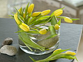 Tulipa 'Strong Gold' (tulip) circular form