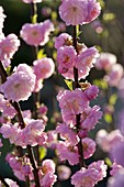 Flowers of Prunus triloba (almond tree)