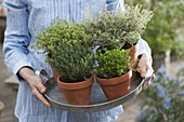 Woman carrying tray with various thyme varieties