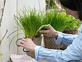 Schnittlauch (Allium schoenoprasum) schneiden