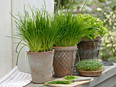 Chives (Allium schoenoprasum) in clay pots