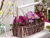 Primula 'Wanda' (pillow primrose) in bottle carrier