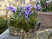 Crocus vernus 'King Of The Striped' in basket