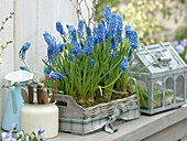 Muscari 'Big Smile' in Basket, Miniature Greenhouse