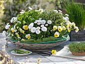 Kräuternest mit Schnittlauch (Allium schoenoprasum), Zitronenthymian