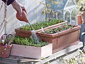 Spinach spinach 'Matador' (Spinacia oleracea), garden cress
