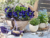 Spoke basket with purple Viola cornuta Callisto 'Denim', parsley