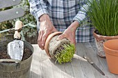 Harvest chives from the pot, divide and replenish