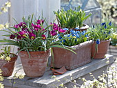 For colorful spring flowers put the onions in pots in autumn