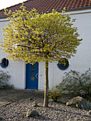 House entrance with blooming Acer platanoides 'Globosum'
