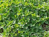 Urtica dioica (stinging nettle)