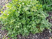 Real Chervil, Garden Chervil (Anthriscus cerefolium)