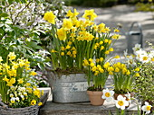 Narcissus 'Yellow River' 'Tete a Tete', Narcissus 'Golden Bells'