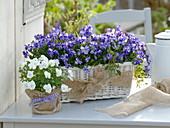Viola cornuta 'Columbine' 'Callisto White' (Hornveilchen)