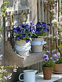 Viola cornuta Callisto 'denim' (horn violet) in metal pots