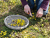 Woman picking Tussilago farfara (Coltsfoot) flowers