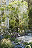 Wisteria floribunda 'Alba' (white wisteria) in the spring bed