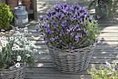 Spanish lavender 'Papillon' (Lavandula stoechas), Argyranthemum