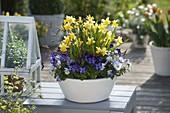 Narcissus 'Tete A Tete' (Narcissus), Viola cornuta