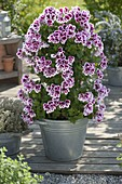 Pelargonium grandiflorum 'Candy' (noble geranium) in zinc bucket