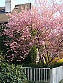 Prunus serrulata 'Kanzan' (Japanese ornamental cherry) in the front yard