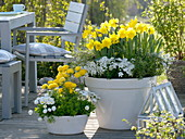 White bowl with Narcissus 'Yellow River', Lonicera nitida