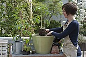 Woman planting tomato in big tub