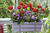 Balcony box with Tulipa 'Red Princess', Iberis